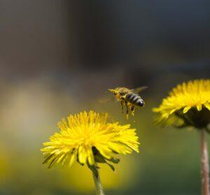 Bee pollinating yellow Dandelion